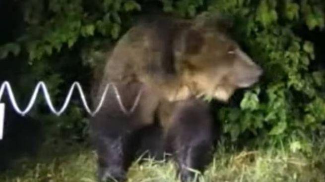 L'orso M49 quando fu catturato, e fuggì