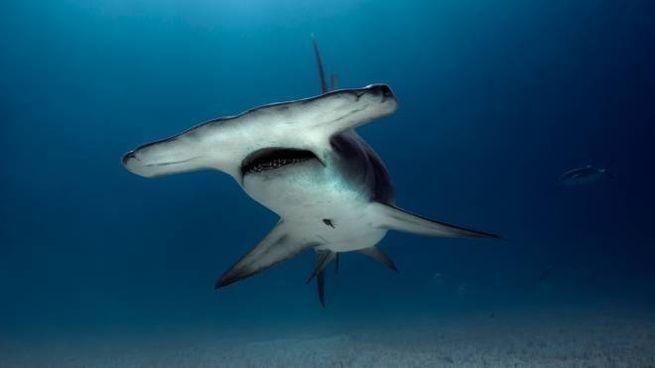 Un esemplare di squalo martello