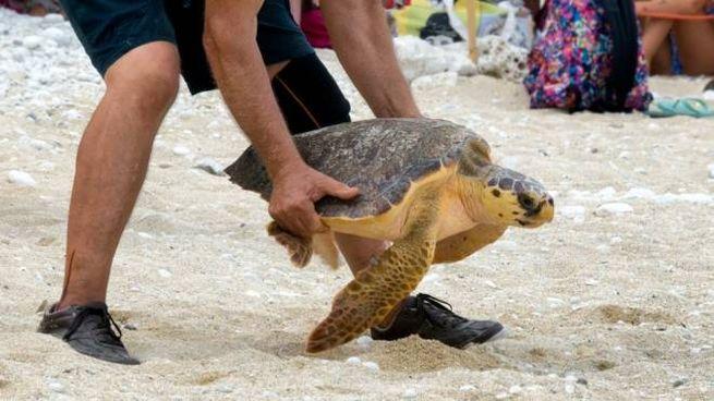 Un operatore intento ad adagiare una tartaruga al suolo