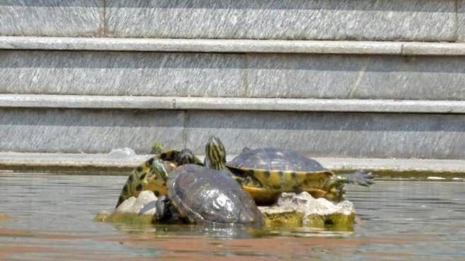 Le tartarughe esotiche nei laghetti-piscina alla Maugeri