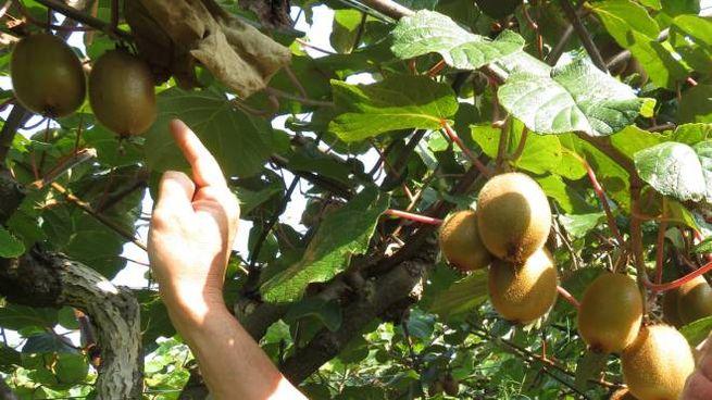 Cimice asiatica, danni ai frutteti in Emilia Romagna (Corelli)