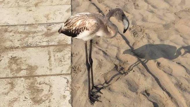 uno dei fenicotteri avvistati in spiaggia