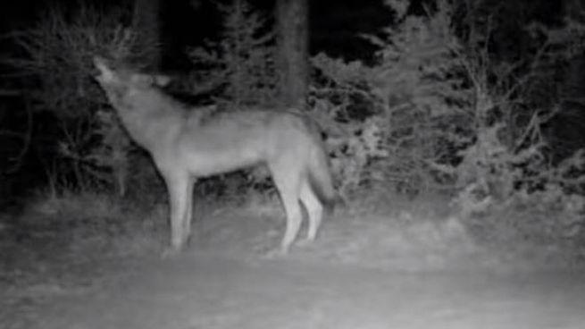 Il lupo che ulula ripreso dalla fototrappola