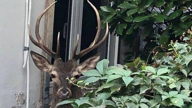 Il cervo messo in salvo dagli agenti pesa circa 200 chili