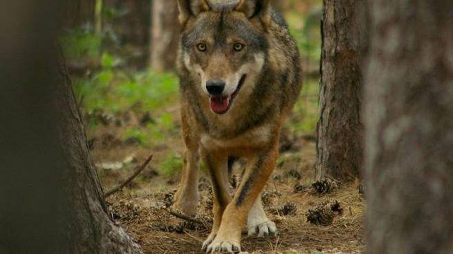 Un esemplare di lupo selvatico