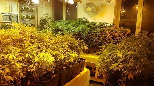 Borgo Priolo, in cascina la coltivazione di cannabis: sequestrate 670 piante