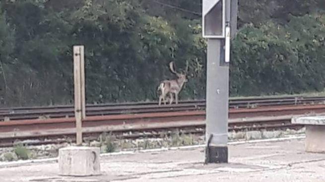 Il cervo sui binari