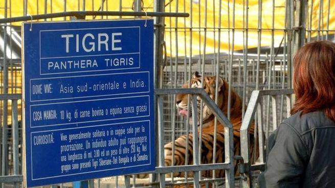 Il pubblico visita la gabbia delle tigri in un circo