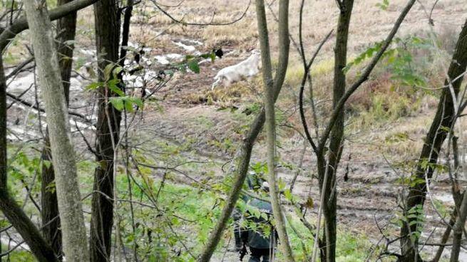 Una delle capre allontanate