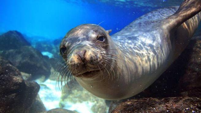 Un leone marino delle Galapagos