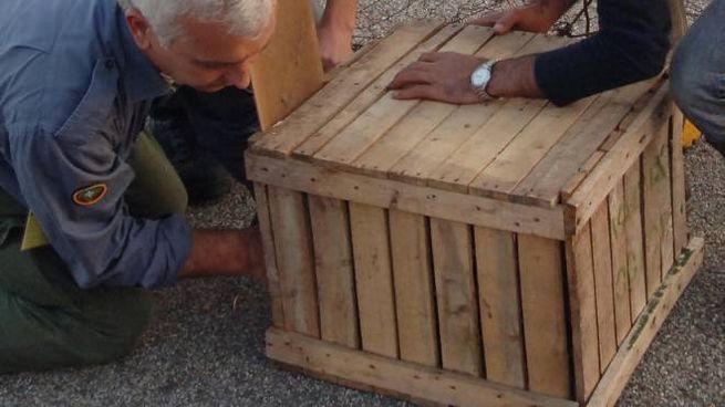 Personale addetto alla cattura con alcuni esemplari messi in gabbia sull'Adda