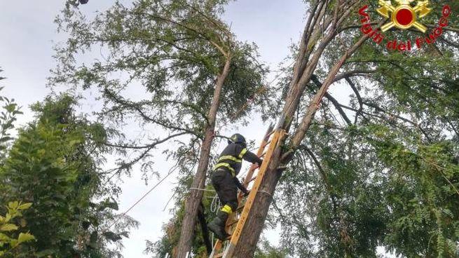 I pompieri sistemano un albero pericolante a Basiasco