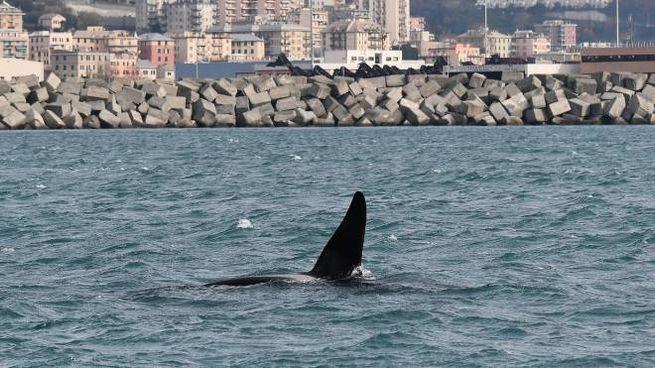 Le orche davanti all'imboccatura del porto di Voltri (Ansa)