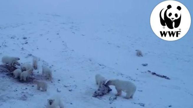 Clima, orsi polari in villaggio russo: un fermo immagine dal video del Wwf