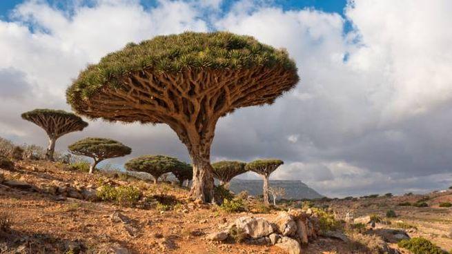 L'albero del drago dell'isola di Socotra