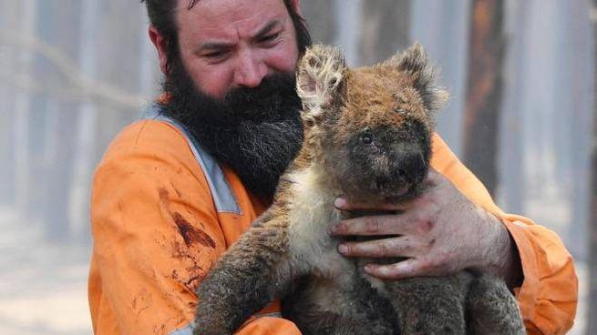Australia. Un koala salvato dalle fiamme. Ma sono tantissimi gli animali morti