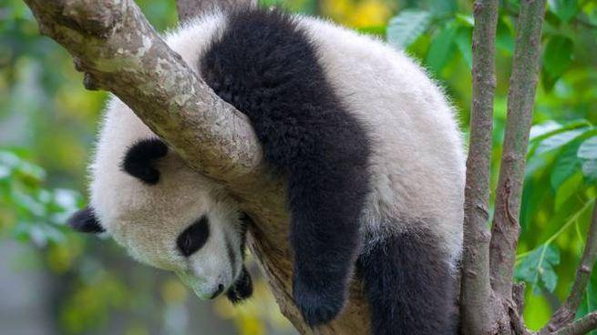 Un cucciolo di panda schiaccia un pisolino su un albero