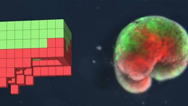 Design e realizzazione dello xenobot (Foto: J. Bongard et al. / PNAS)