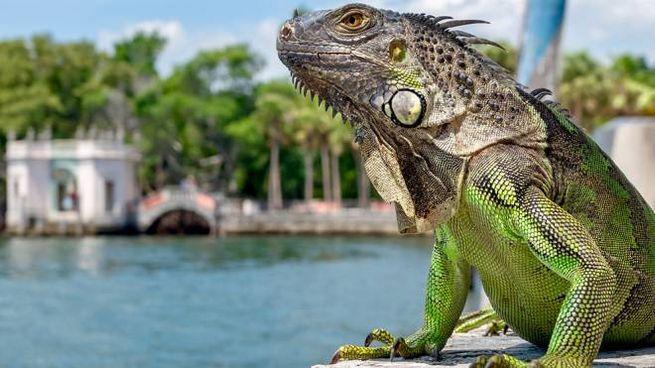 Le iguane prosperano in Florida grazie al clima subtropicale