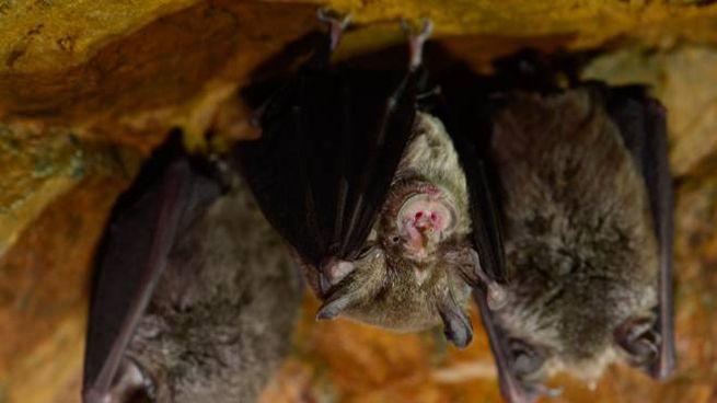 I pipistrelli possono essere vettori di virus letali per gli esseri umani