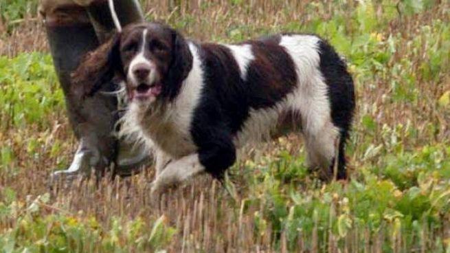 Cane da caccia (immagine d'archivio)