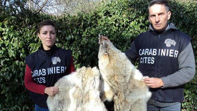Blitz in una pellicceria del centro, sequestrate pelli di animali in via d'estinzione – Cronaca