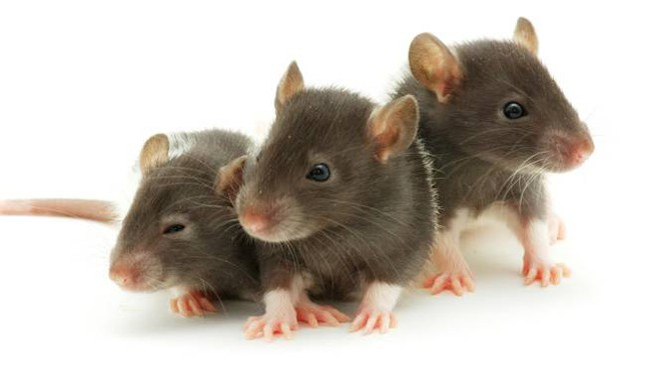 Anche i ratti mostrano empatia verso i propri simili