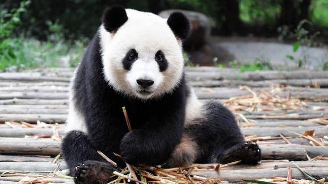 I panda ripresi in diretta da guardare in streaming