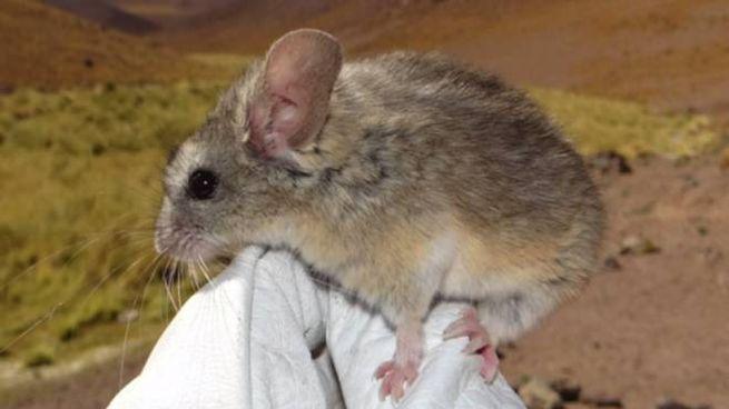 Il topo campione di sopravvivenza in quota - Foto: screenshot video da news.unl.edu
