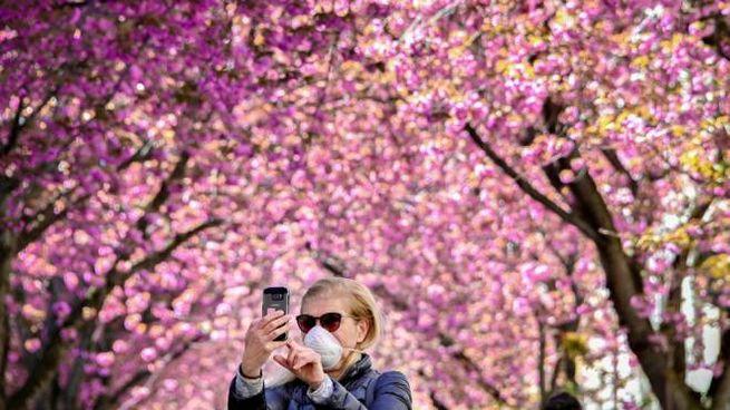 La fioritura dei ciliegi durante l'epidemia