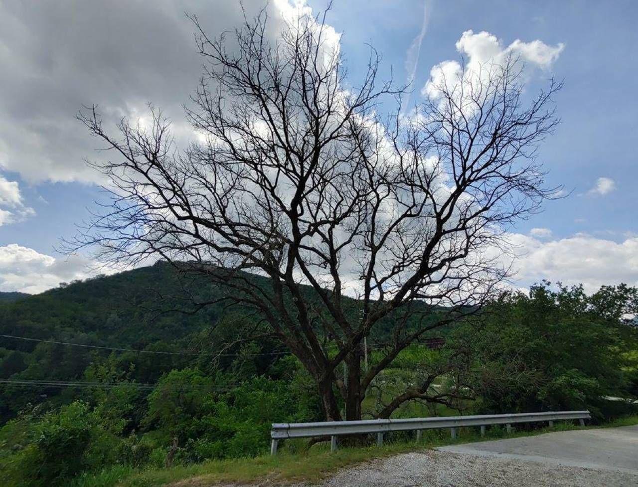La quercia lungo la Brisighellese