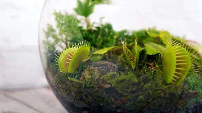Le piante carnivore che si possono tenere a casa