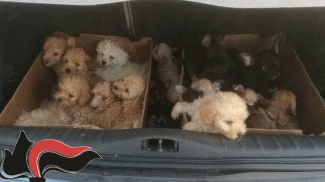 I cuccioli sequestrati dai carabinieri e affidati ad associazioni animaliste
