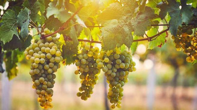 Bianco splendore: l'influenza del mare sulle uve