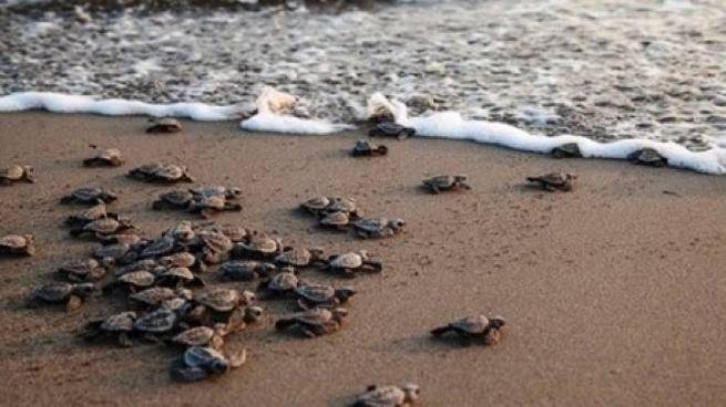 Alcune tartarughe marine nate all'Elba raggiungono l'acqua