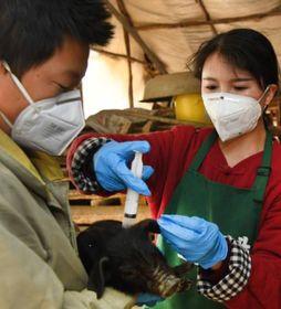 Nuovo virus dai maiali, paura senza fine. Gli scienziati: si rischia un'altra pandemia