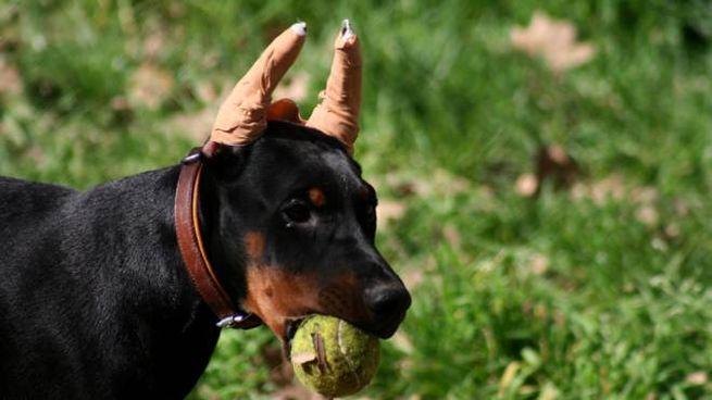 Fa Tagliare Le Orecchie Ai Suoi Cani Indagato Per Maltrattamento