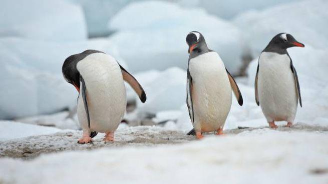 I pinguini espellono le feci sparandole lontano dal nido