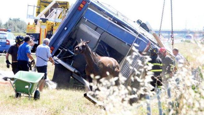 Incidente A14, il recupero dei cavalli (foto Ravaglia)
