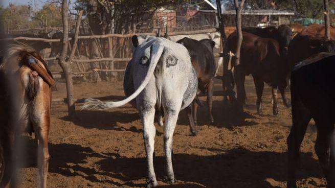 Una mucca africana con gli occhi anti-predatore sulle natiche - Foto: Ben Yexley