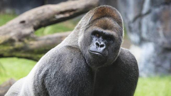 Il gorilla di pianura occidentale è una delle specie più vulnerabili al SARS-CoV-2