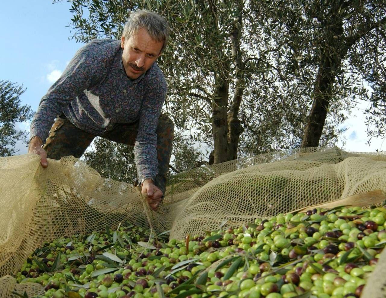 """""""La raccolta delle olive 2020? Potrebbe darci delle ..."""