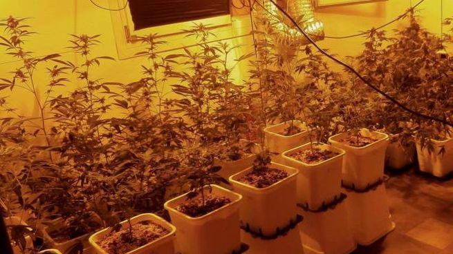 Una coltivazione di marijuana