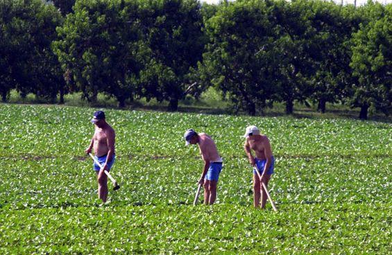 Lavoratori all'opera nelle campagne del Cesenate. I casi in esame riguardavano anche allevamenti
