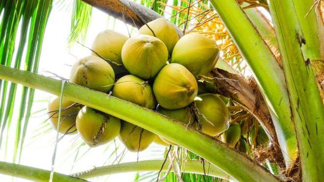 Al posto della retta, noci di cocco: succede a Bali