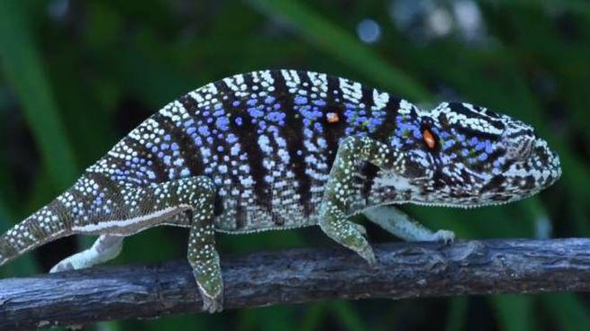 Una femmina di camaleonte di Voeltzkow (foto da youtube/David Protzel)