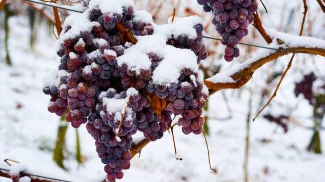 I vini di ghiaccio sono prodotti con gli acini congelati raccolti in inverno