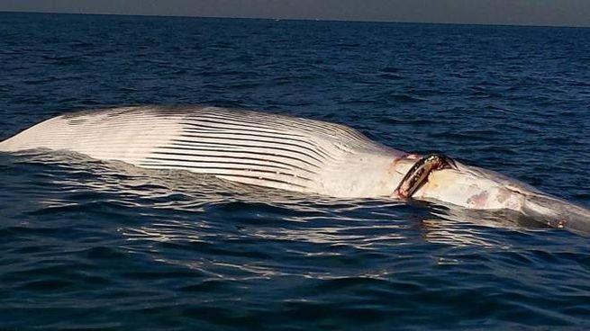 La carcassa della balena