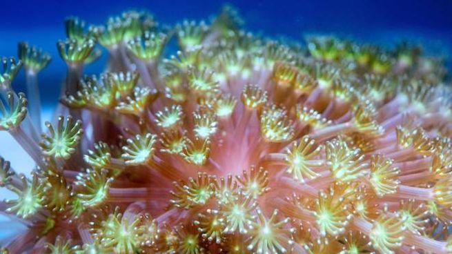 Un esemplare di Alveopora Japonica (Getty Images)