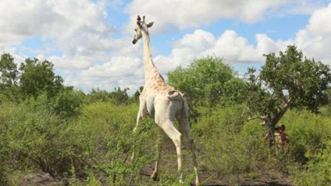 Kenya, è rimasto un unico esemplare di giraffa bianca (Dire)